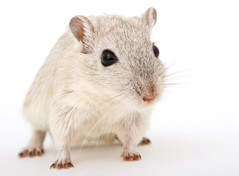 mouse pest services