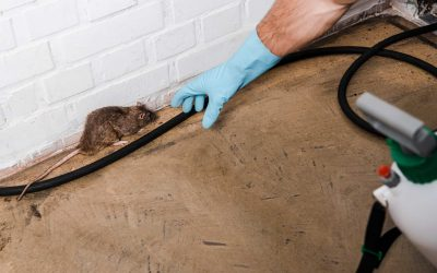rat pest control bury